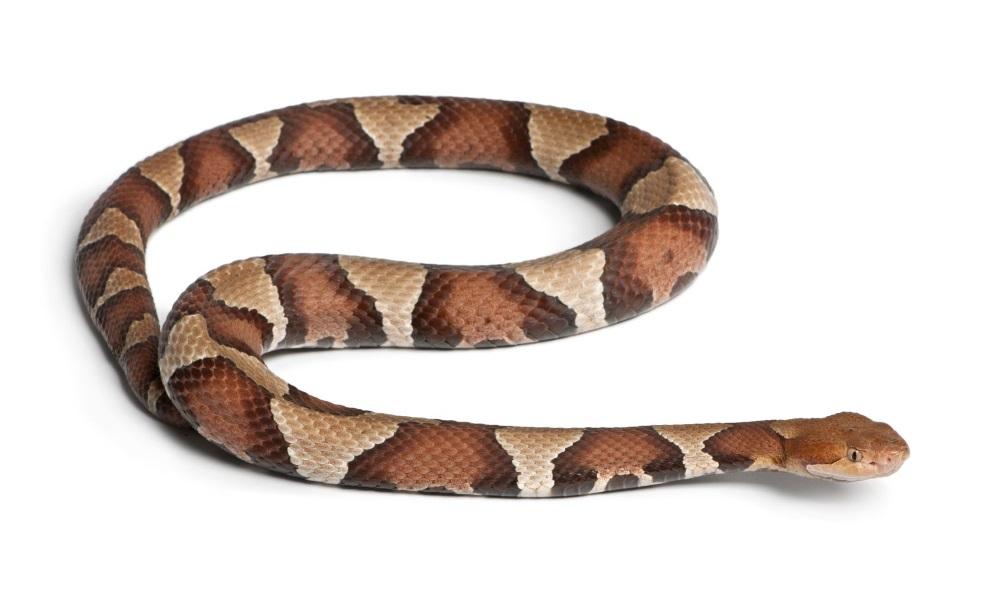 カパーヘッド | 爬虫類図鑑