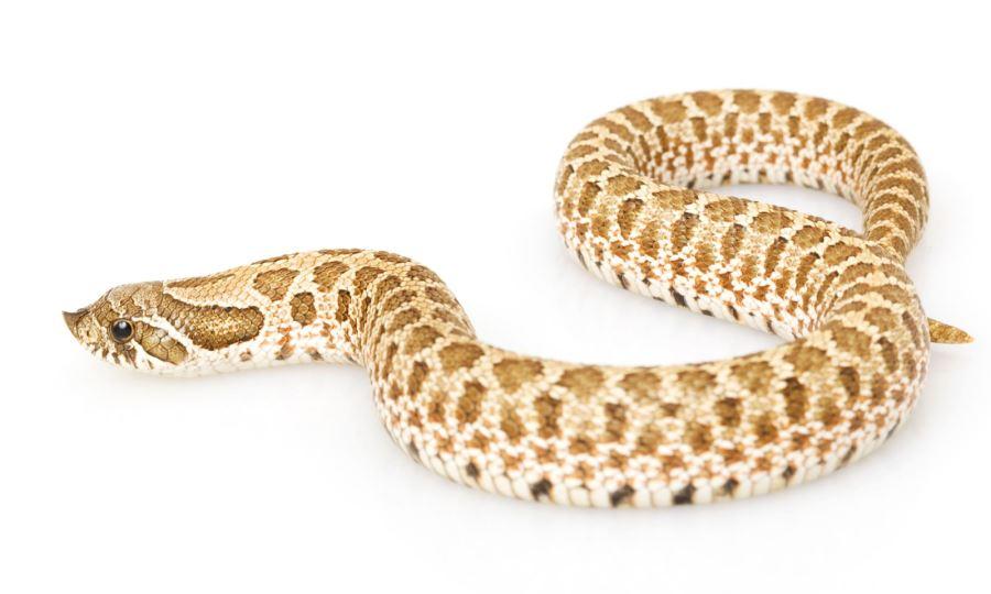 セイブシシバナヘビ                         Western hognose snake