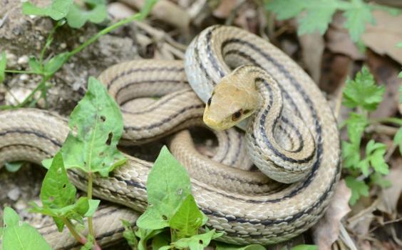 シマヘビの画像 p1_10